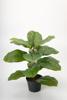 Billede af Violin Ficus, 40 cm